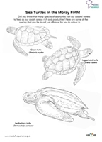 Sea Turtles of the Moray Firth Thumbnail