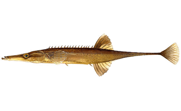 Fifteen-spined Stickleback