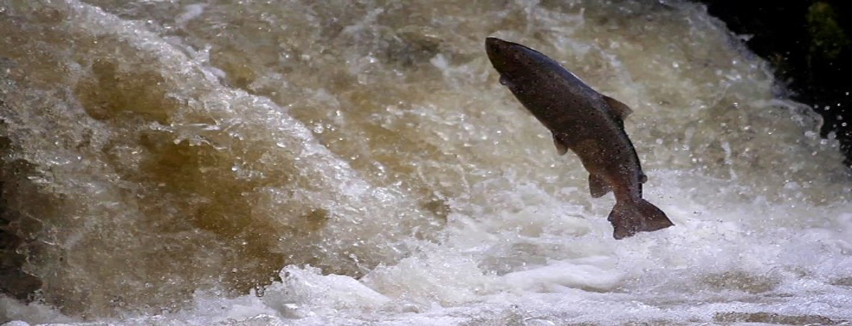 Swimming Upstream- an Evening with Salmon Experts - 26th September 6:30-9:30 pm
